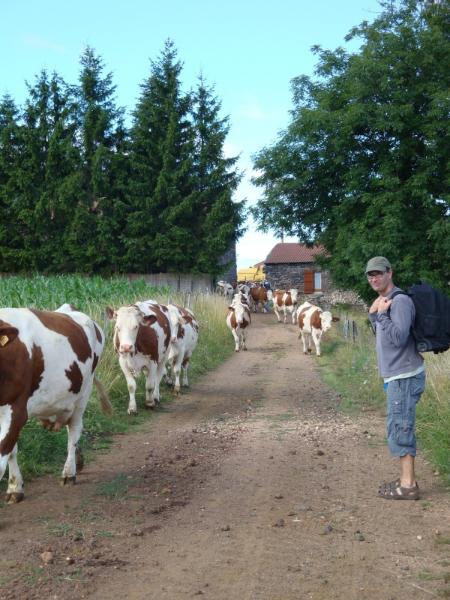 Herman laat de koeien voorgaan