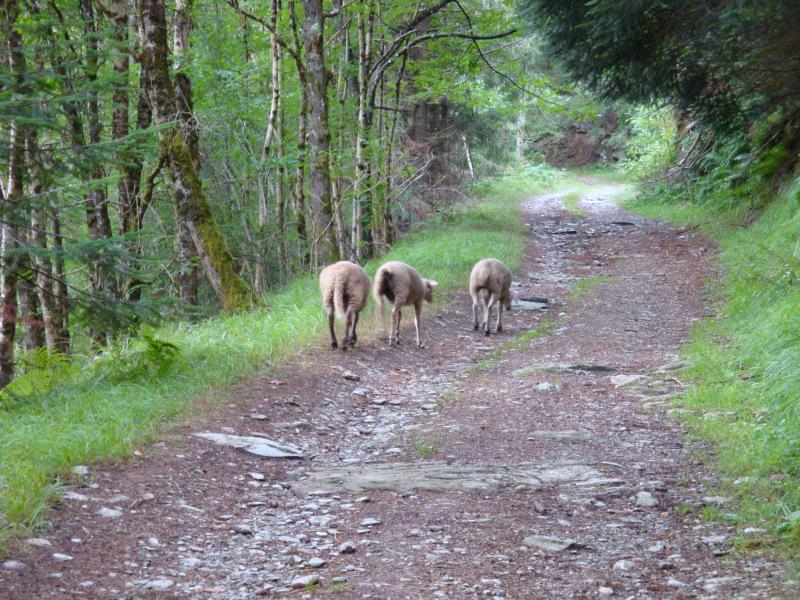 deze schapen liepen met me mee het bos in (voorbij Cassagnas)